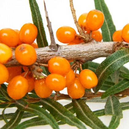 Dried Sea Buckthorn Berries 10 kg from dowricks.com
